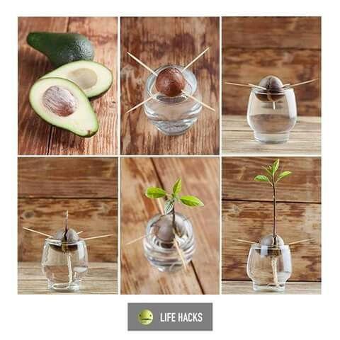 Grow an avacado plant