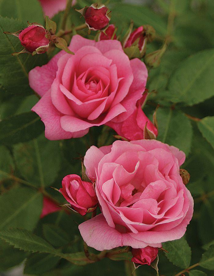 ~Parkland Shrub Rose: Rosa 'Morden Belle' (Canada, 1993)