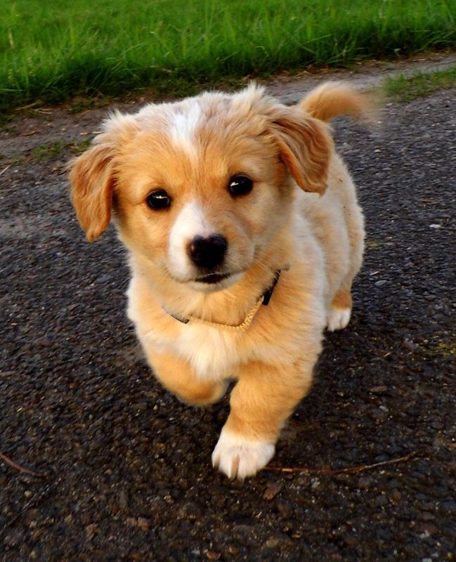 Corgi+ cocker spaniel