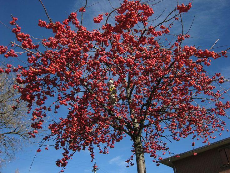Tip voor kleur in de wintertuin: Een sierappel zoals de Malus 'red sentinel' geeft de hele winter kleur en prachtige bloesem in de lente.