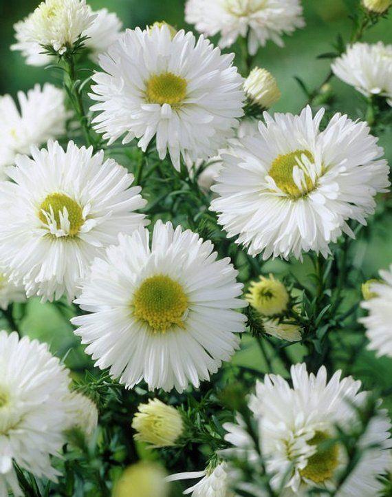 White Alpinus Aster Flower Seeds Perennial 50 Etsy Aster Flower Beautiful Flowers Flower Seeds