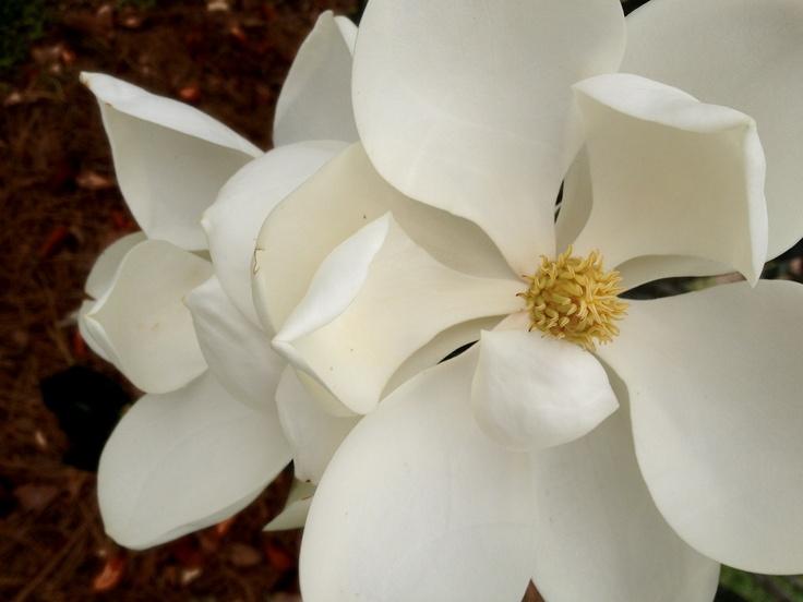 Lemony sweet, fragrant, Southern Magnolia