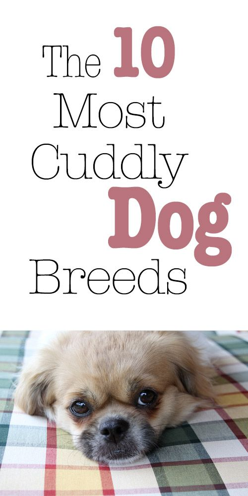The 10 Most Cuddly Dog Breeds.... wish my husky was one of them. She won't cuddle me! http://iheartdogs.com/the-10-breeds-that-enjoy-cuddling-the-most/