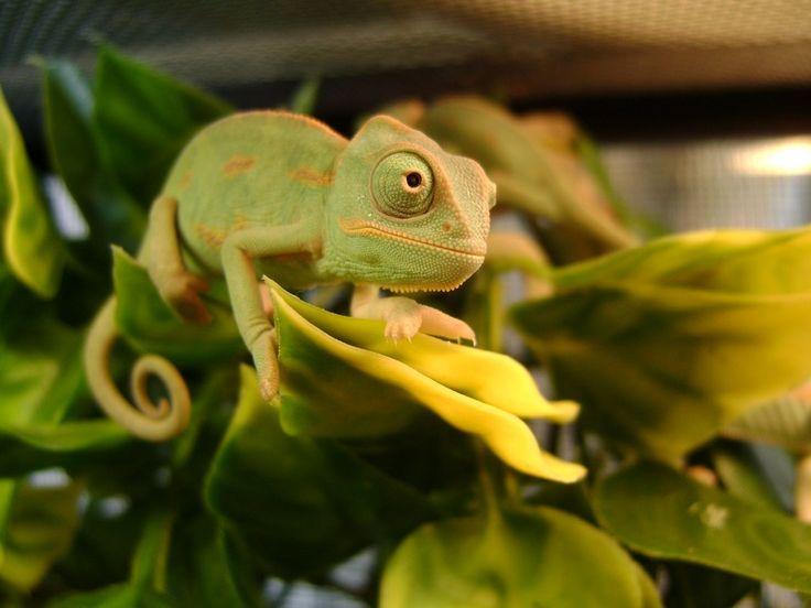 name cute chameleon - photo #24