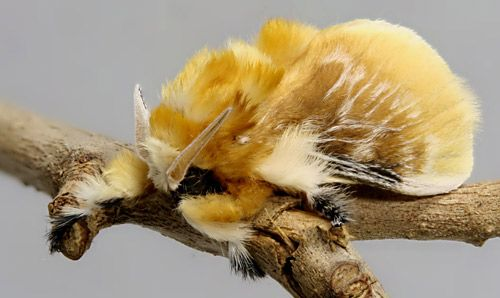 Male southern flannel moth--the adult form of the deadliest caterpillar in the US--the Puss Caterpillar