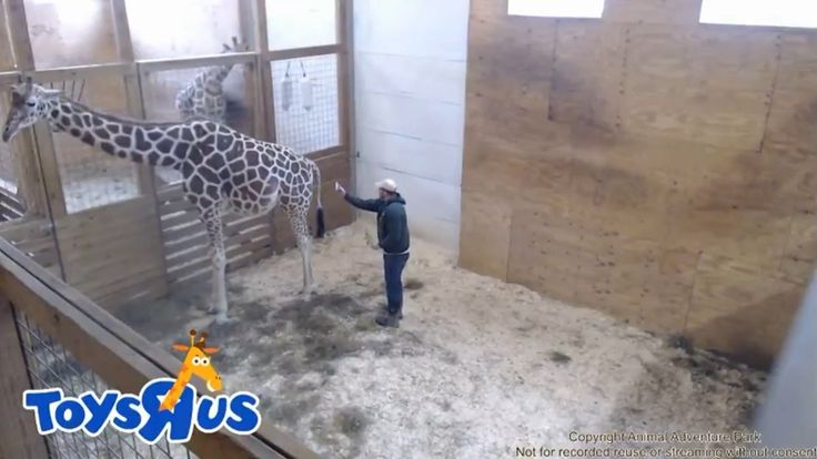 Latest Update: April The Giraffe's Latest Jordan Patch Visit, 4/4/17 Ani...