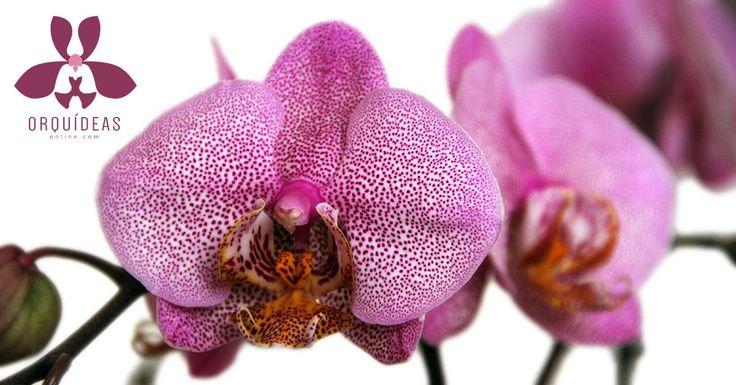 Envío de Orquídeas a domicilio en México D.F.