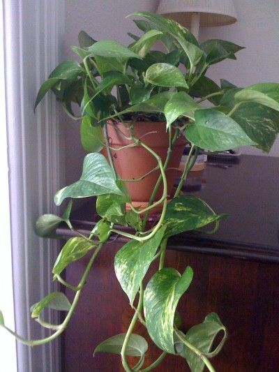 Pothos - my favorite plant, because it's the most hardy and survivable, and clipping can form roots in water for new plants. I've had a few pothos  since the 90's, and have made a few plants from them to give to others.