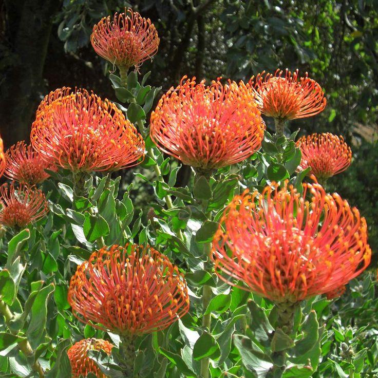 """LEUCOSPERMUM cordifolium """"orange"""""""