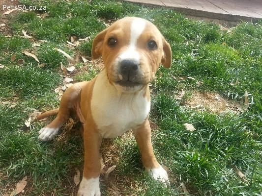Classified Ads Staffie Puppies For Sale In Gauteng Staffypuppies Staffie Puppies Puppies Puppies For Sale