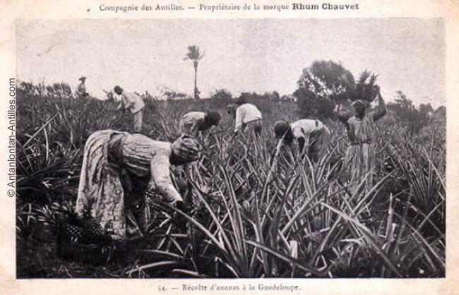 Récolte d'ananas en Guadeloupe