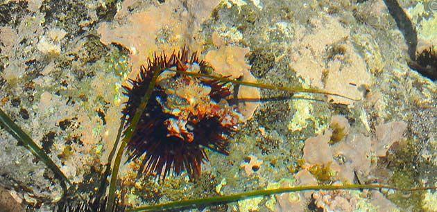 Clase: Echinoidea / Orden Camarodonta   Familia Parechinidae   Paracentrotus lividus   Erizo de mar común / Rock sea urchin