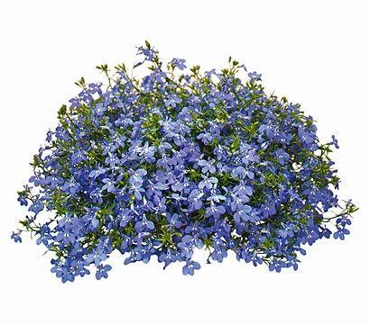 Lobelie - Männertreu 'Laguna', blau
