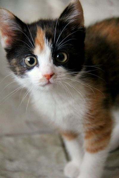 Tiny Calico Kitten, 11weeks old. My  kid sister, Babu, aka my parent's new kitten after 15 years of grieving the loss of our first kitty, Jassu.: Kitty Cats, Beautiful Cats, Alert Calico, Calico Kittens, Calico Cats, Cats Kittens, Baby Cat