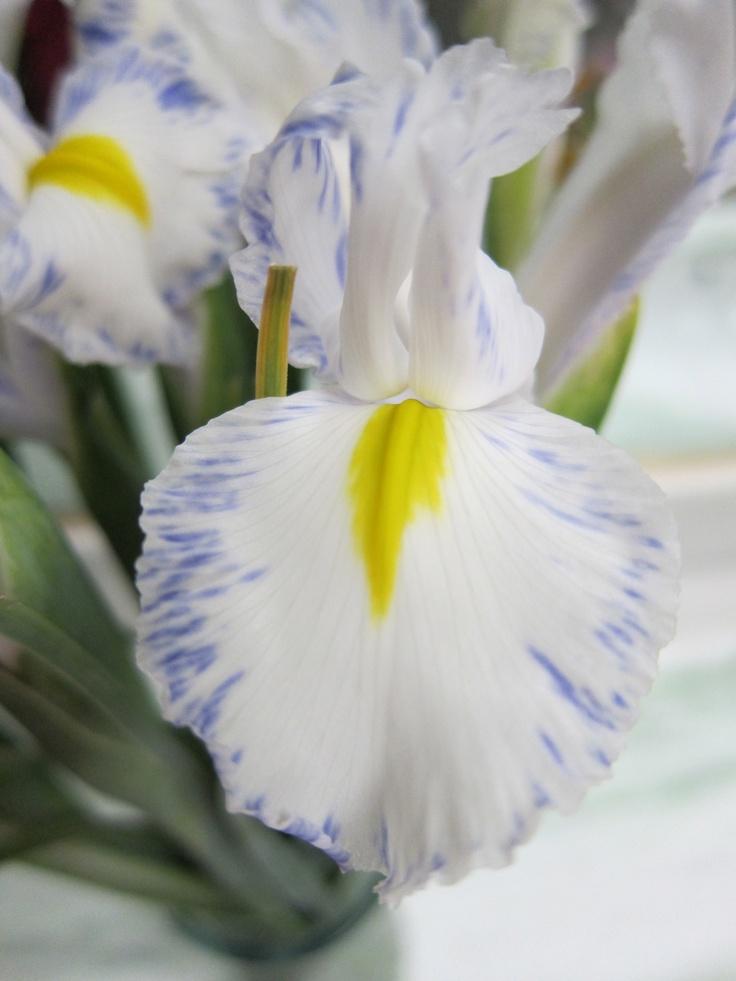 Delft Blue Iris: Blue Iris