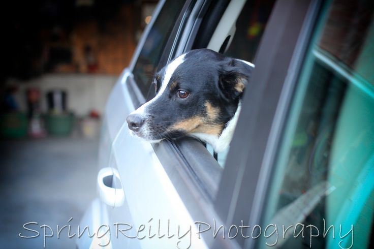 Dogs in Cars-Project Pet Portrait Sessions by Life's Elements Photography in Uxbridge, Ontario serving Durham Region, Scugog, Brock Twp, York Region, GTA and Kawartha Lakes www.springreilly.com All dogs, cats, lizards, snakes, gerbils, hamsters and other family friendly pets welcome. 3w
