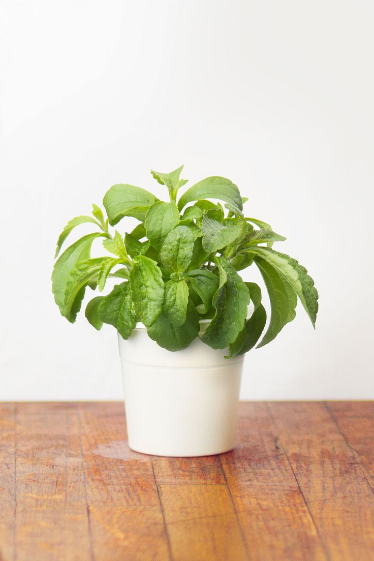Surprise your sweet tooth more often without the consequences with our  Stevia (Sugar Leaf)
