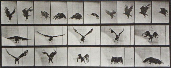 muybridge_eagle