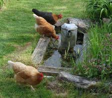 Lots of advice for raising chickens.