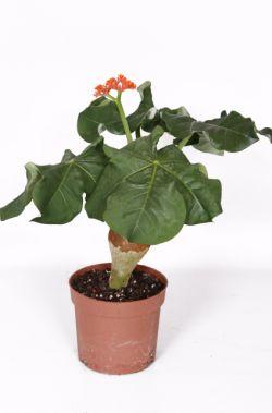 flessenplant | Jatropha podagrica oranje  De Jatropha podogrica oranje, ook wel flessenplant genoemd, komt oorspronkelijk uit Azië en Afrika en heeft een opgezwollen stam. Daarnaast heeft de plant mooie koraalrode bloemen.  Zet de plant op een lichte plaats maar niet in direct zonlicht. Het is een tropische plant die veel water nodig heeft. Het gele blad wat kan ontstaan aan de onderkant kunt u gewoon verwijderen.