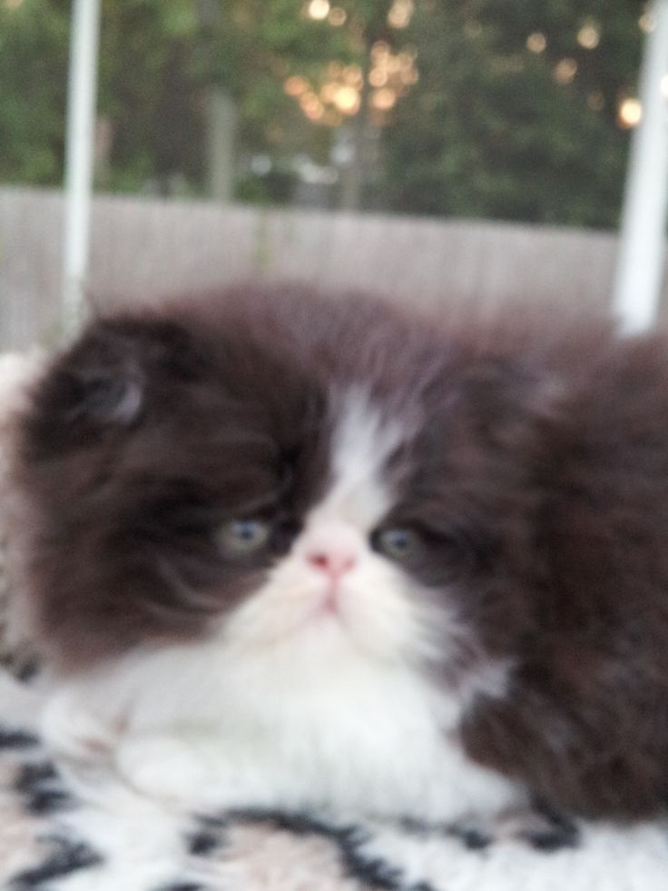 Black and White Persian Kittens