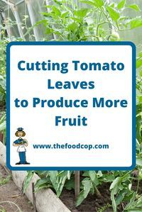 Cutting Tomato Leaves to Produce More Fruit http://www.thefoodcop.com/cutting-tomato-leaves-to-produce-more-fruit/
