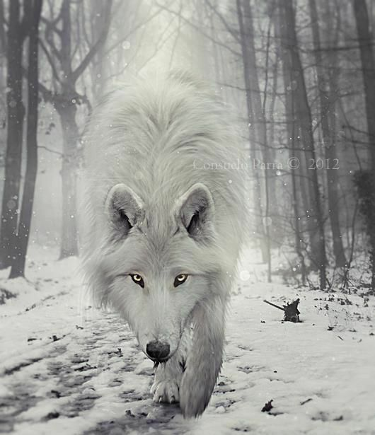 #wolf #wildlife #white #wolves