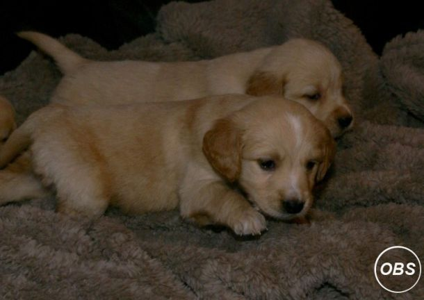 Awesome Golden Retriever Puppies Puppies Pets Free Classified Ads