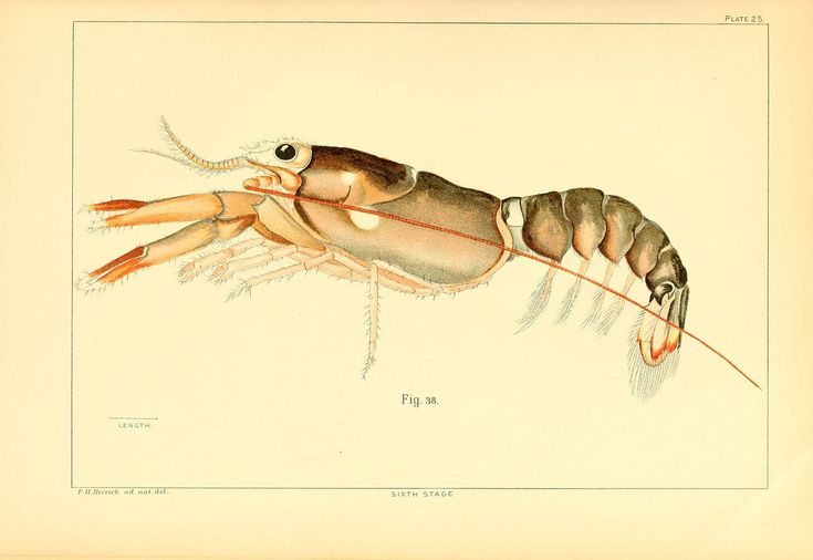 https://flic.kr/p/bbbkqZ | n336_w1150 | The American lobster Washington :Govt. Print. Off.,1895. biodiversitylibrary.org/page/37159882