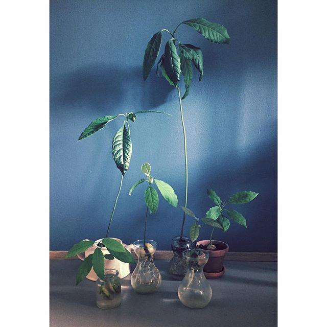 My avocado family #winteravocado #avocadoplant #houseplants #urbanjunglebloggers #indoorplants #plantsrule #avocado #plantlove #avocadoplantnerd #marissjokoladefabrikk #boligpluss_planter #plantsonblue #avocadogrowing #avocadoseed #livingwithplants