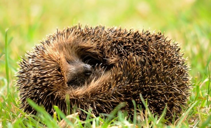 You can help hedgehogs get through hibernation by putting food in an accessible place and providing a safe shelter for them (Photo: WTML / Amy Lewis)