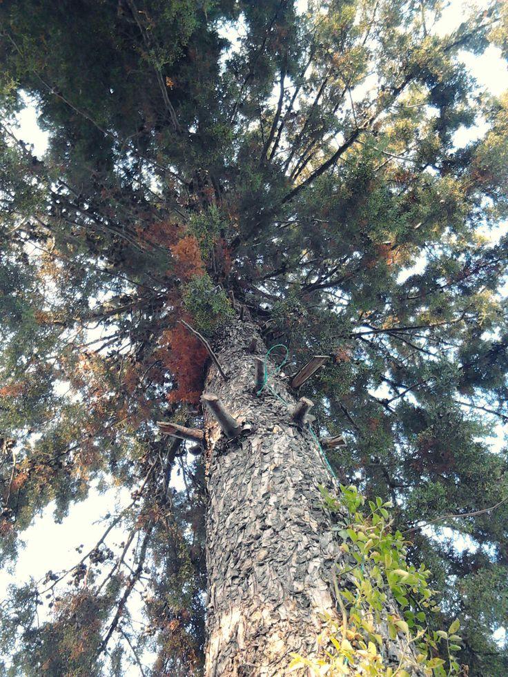 https://flic.kr/p/Uq9TUS | Pine Tree