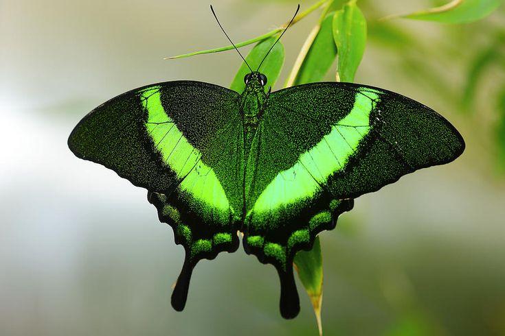 Emerald Swallowtail by Richard Henne  Butterflies    Butterfly Butterfly house Butterfly