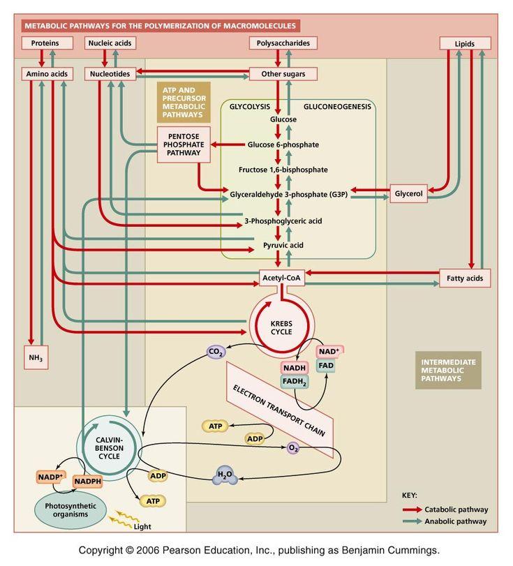 integration and regulation of metabolic pathways