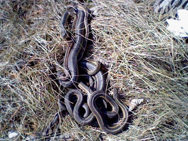 A whole clump Of garter snakes i found and they didn't mind me being there.