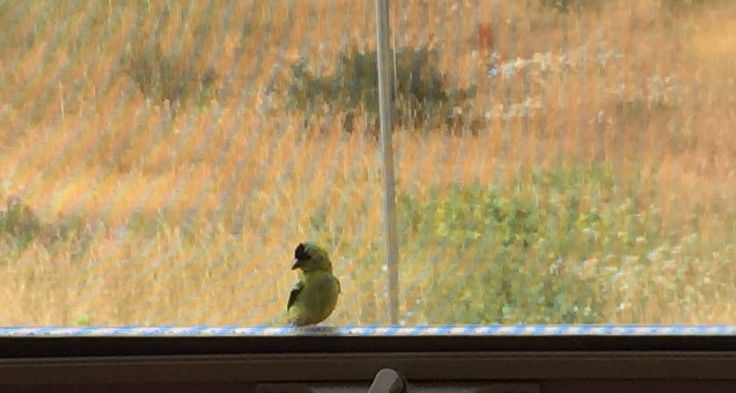 Goldfinch clinging to the outside window frame.