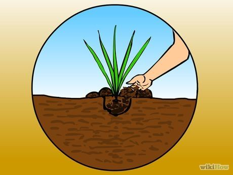 How to Grow Pampas Grass: 10 Steps (with Pictures) - wikiHow