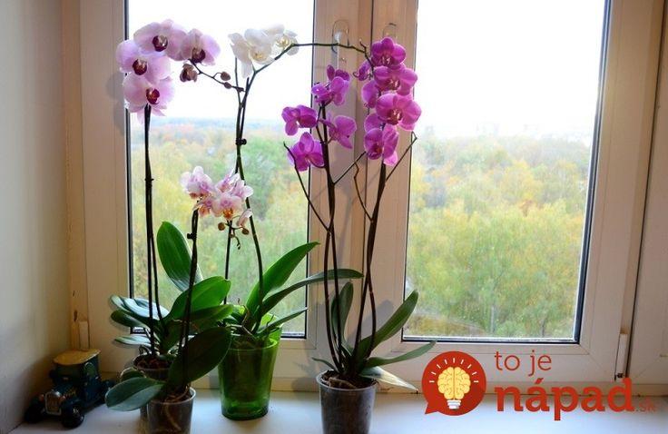 """Orchidea – obľúbený kvet mnohých žien v domácnosti. Niektoré ženy sú v jej pestovaní skutoční majstri a dokážu zariadiť, aby im orchidea kvitla tak často, ako sa dá. Niekto kupuje účinné hnojivo, niekto iný podrobí kvetinu """"šokovej terapii"""", keď ju na čas premiestni do tmavej miestnosti a potom po premiestnení na svetlo začne kvetina kvitnúť...."""