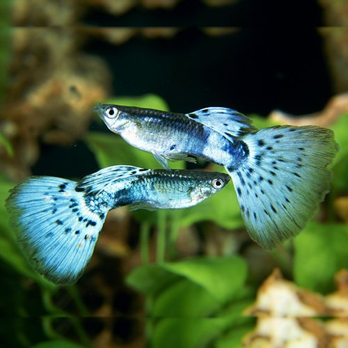 The Neon Blue Delta Tail Guppy (poecilia reticulata var.) combines several of the attributes we can attach to the modern varieties. The electric-blue colour is just one of the full rainbow spectrum of colours seen throughout the range of varieties, and the full spread of the tail (caudal) fin and dorsal fin is another feature common to many of the new varieties.