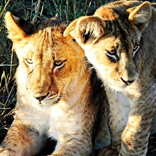 lion, brothers. botswana