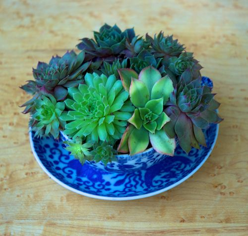 Succulents Growing in a Teacup!