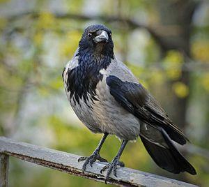 Hooded Crow - In Kiev, Ukraine  Scientific classification Kingdom:Animalia Phylum:Chordata Class:Aves Order:Passeriformes Family:Corvidae Genus:Corvus Species:C. cornix Binomial name Corvus cornix Linnaeus, 1758