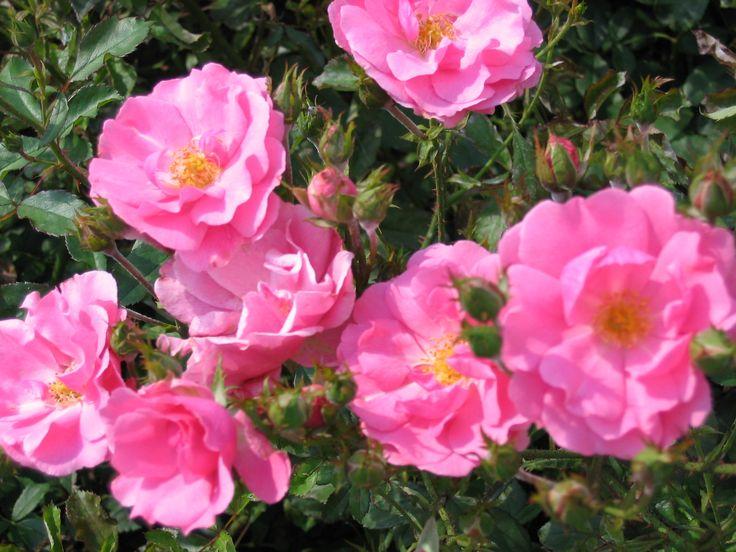 'Mirato' - Tantau (1990) - ADR 1993. Rijk- en lang bloeiende bodembedekker. Grote trossen dieproze bloemen (4-6cm). Ziektevrij. Robuust. 70cm x 60cm.