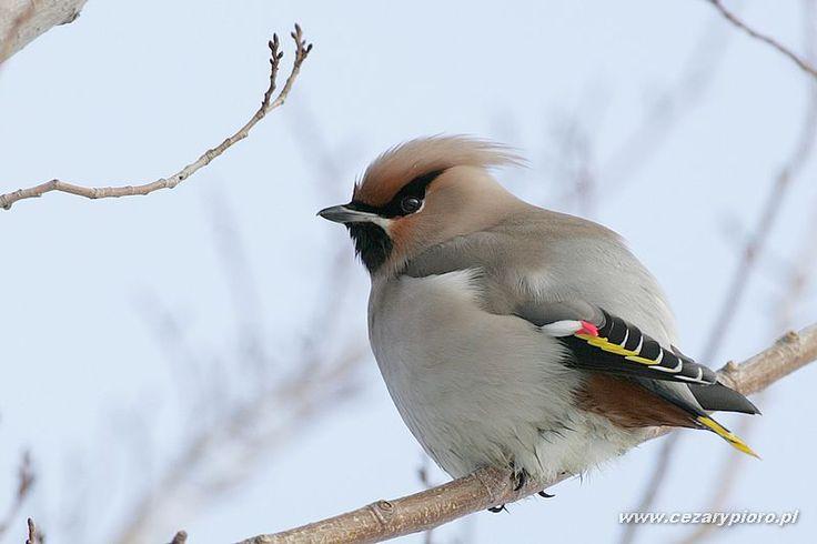 ptaki polskie - Jemiołuszka