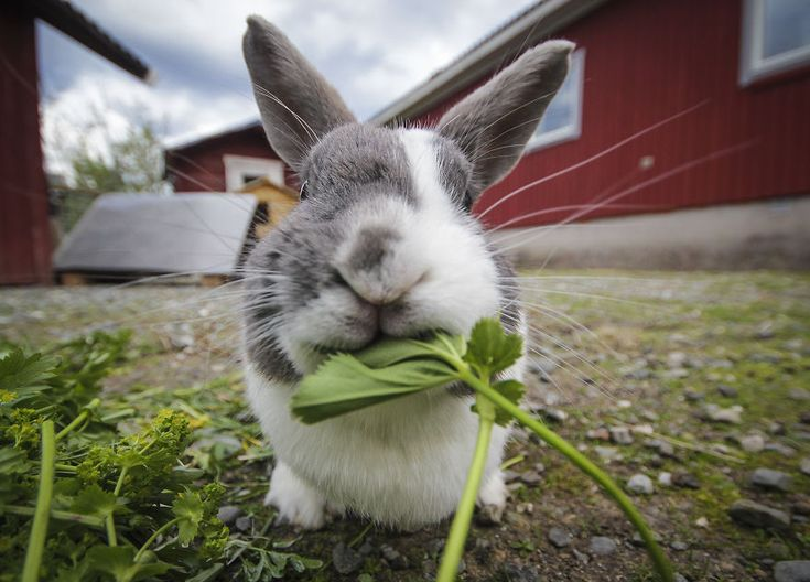 A chewing Rabbit: taken in Järpen, Sweden | We Took Funny Animal Mugshots, Whilst Traveling Around The World | Bored Panda