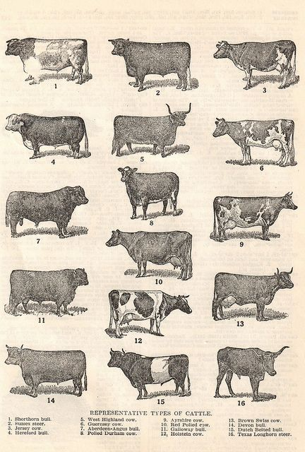 Vintage Cows | Flickr - Cows..... I would love to frame this exact picture