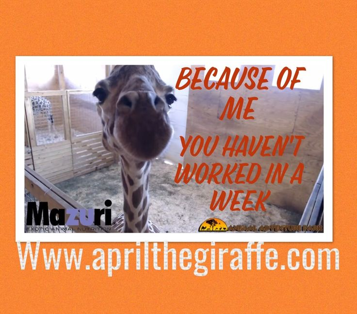 April the Giraffe Humor lol