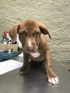 ADOPTED!!  PANAMA CITY, FL - Krunk ( Male : 3 Months ), Bulldog mix- Tan/White, available at the Humane Society of Bay County in PANAMA CITY, FL