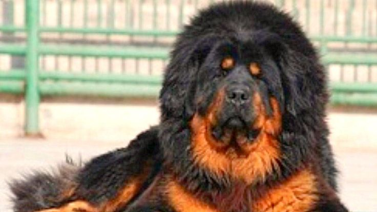 The Tibetan Mastiff (Wylie: 'dogs khyi; Lhasa dialect IPA: [tʰòcʰi]) is an ancient breed and type of large domestic dog (Canis lupus familiaris) originating with nomadic cultures of Tibet, China, Nepal, and India. The dog is widely used by local tribes of Himachal Pradesh, India, to protect their sheep from leopards. Tibetan Mastiff Dogs