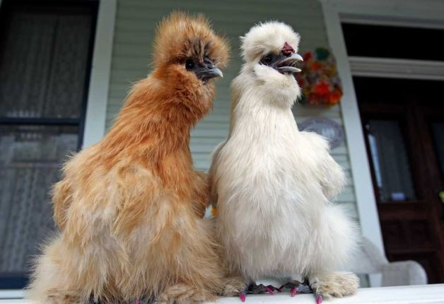 Cute Silkies featured in the King William District of San Antonio